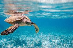 There are many species of sea turtles seen off the coast of Siesta Key!