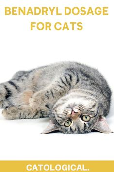 You may or may not have heard that some pet parents give Benadryl to their canines. So it only comes natural to ask yourself if it's also safe for your feline furball and how much is a good amount? #cathealth #cattips #catfacts #catcare #kittencare Cat Care Tips, Pet Care, Pet Tips, Benadryl For Cats, Cat Health Care, Health Tips, First Time Cat Owner, Cat Medicine, Cat Allergies
