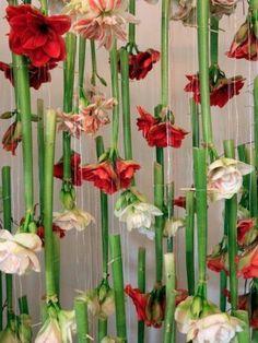 Amaryllis an der Decke auf Tollwasblumenmachen.de  #blumen #amaryllis #bunt #flowers #dyi #deko #decoration #inspiration