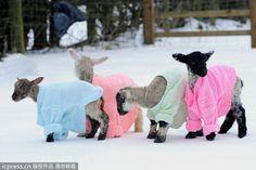 Sweaters Keep Newborn Lambs from Britain's Arctic Blast