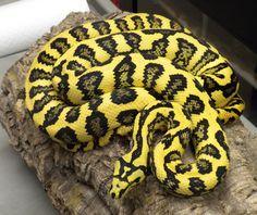 Jungle carpet python. Beautiful snake.
