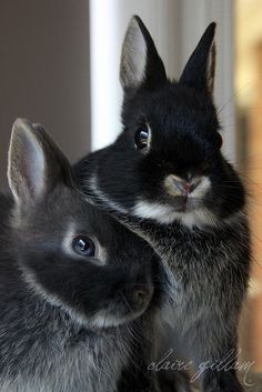 Spring - black bunnies