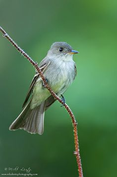 Eastern Wood Pewee  by Mike Lentz Photography, via Flickr