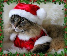 meowy christmas by alaidh via flickr - Merry Christmas Cat