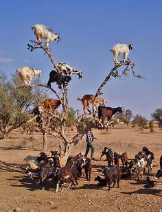 tree climbing goats  Have you ever seen tree climbing goats? Apparently goats on the trees is a common thing in Morocco. Moroccan goats unbelievably easy get on the highest tops of argan trees to reach so loved fruit similar to olives.