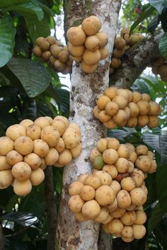 Dokong, a tropical fruit with a thick, rough, pale yellow colour skin and no latex when torn. Fruit And Veg, Fruits And Vegetables, Fresh Fruit, Weird Fruit, Strange Fruit, Weird Plants, Exotic Plants, Fruit Plants, Fruit Garden