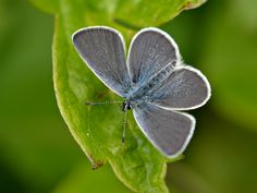 The Small Blue (Cupido minimus) can have a wingspan of just Chalk Hill, Blue Wings, Blue Butterfly, Conservation, Habitats, Moth, Butterflies, Andrew Cooper, Colouring