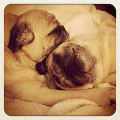 Pug soul mates. This is the equivalent to seeing a cute older couple holding hands, but this is with pugs which makes it even CUTER!