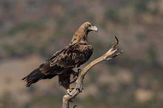 [Immature] Iberian imperial eagle (Aquila adalberti) in Valdemaqueda, Community of Madrid, SPAIN. ©Alberto ALVAREZ-LOPEZ