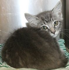 Flash: Sad 2-month-old tabby sits alone and unloved at high-kill upstate shelter