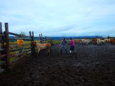 Op een ranch hoort een koe vangen met een lasso er natuurlijk bij #Guyana #Rupununi