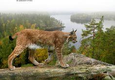 Ilves - Lynx lynx kissaeläin kissa eläin nisäkäs peto ilves maisema kelo runko sumu erämaa metsä järvi Eurasian Lynx, Lynx Lynx, Beautiful Creatures, Animals Beautiful, Big Cats, Cute Cats, Animals And Pets, Cute Animals, Animal Totems