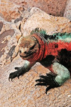 Marine Iguana on Espanola Island, Galapagos.  (Lucky enough to be painted by child prodigy I see)