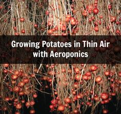 One of the projects that the CIP has been developing as a sustainable farming method is growing potatoes using aeroponics.  Aeroponic growing is a soilless method where plants are grown supported at the top with their roots hanging into a box.