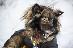 Iditarod 2015: The toughest dog sled race on Earth – in pictures