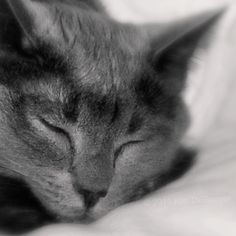 Grey Cat Photo  Still Life Black and White by semisweetstudios, $25.00
