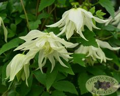 Clematis Lemon Dream Exceptionally large nodding bell-shaped flowers are double…