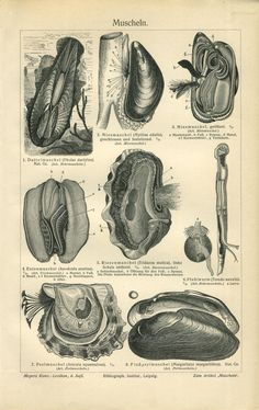 1904 Marine Shells Molluscs Blue Mussel Duck by CabinetOfTreasures Blue Mussel, Science Drawing, Seashell Painting, Life Aquatic, Mussels, Antique Prints, Clams, Smudging, Oysters