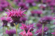 Learn how to plant, grow, and care for Bee Balm with this growing guide from The Old Farmer's Almanac. Flowers That Attract Hummingbirds, How To Attract Birds, Attracting Hummingbirds, Natural Mosquito Repellant, Mosquito Repelling Plants, Free Garden Planner, Deer Resistant Garden, Hummingbird Flowers, Hummingbird Garden