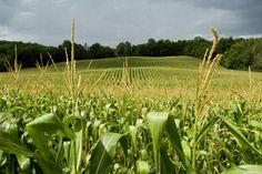 La sobreproducción de #maíz en #EstadosUnidos provocará baja en precio, afirman productores de #Chihuahua