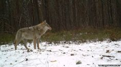 The Wildlife of Chernobyl's exclusion zone A lone grey wolf takes a moment to survey its surroundings, an image captured by a remote camera in Chernobyl's exclusion zone Chernobyl Nuclear Power Plant, Chernobyl Disaster, Chernobyl 1986, Secret Life, The Secret, Bbc, Wolf Images, Remote Camera, Water Lighting