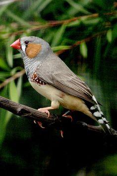 Australian Bird Photo Gallery - Birdworld Kuranda Bird Sanctuary Cairns