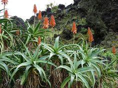 Aloé-Candelabro (Aloe arborescens): Descrição, Cultivo, Paisagismo, Uso Ornamental