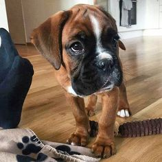 All the things I adore about the Patient Boxer Pup Boxer Puppies, Cute Puppies, Cute Dogs, Dogs And Puppies, Doggies, Sweet Dogs, Boxer And Baby, Boxer Love, All Dogs