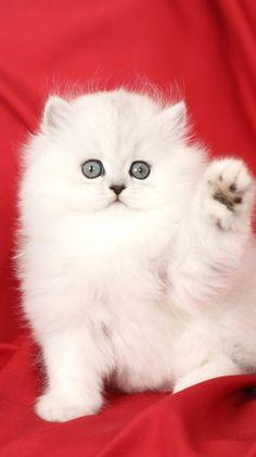 Teacup Persian Kittens, Persian Kittens For Sale, Kitten For Sale, Cats And Kittens, White Persian Cats, Kittens Cutest Baby, Cute Baby Cats, Cute Baby Animals, White Fluffy Kittens