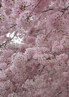 54 Ideas cherry blossom tree garden backyards spring for 2019 Nature Architecture, Sakura Cherry Blossom, Cherry Blossoms, Blossom Trees, Spring Blossom, Flowering Trees, Pretty Pictures, Mother Nature, Planting Flowers