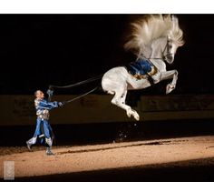 A true war horse! Most Beautiful Horses, All The Pretty Horses, Horse Pictures, Animal Pictures, Lippizaner, Lipizzan, Spanish Riding School, White Horses, Horse Breeds
