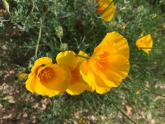 What: Mexican Gold Poppies Where: White Tank Mountain Regional Park When: February 20, 2017