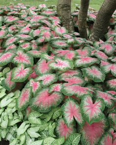 Caladiums are so beautiful in the garden.