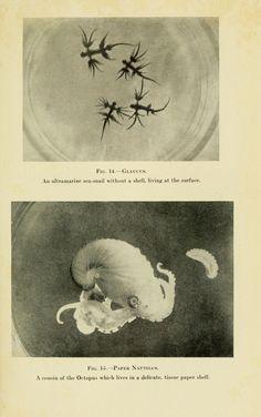 The Arcturus adventure : - Biodiversity Heritage Library -- top: shelless sea snail; bottom: paper nautilus