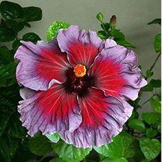 Dinnerplate Hibiscus/ Perennial Flower Seed