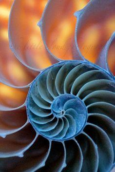 Shell Photography. 13x19 photo. art, blue, orange, sea shells, nautilus, ocean, nature, large print, geometric, modern, loft, decor. $39.00, via Etsy.: