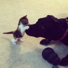 Lab + kitten = best friends