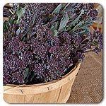 Organic Santee F1 Hybrid Sprouting Broccoli