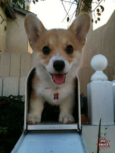 Ohh please someone leave me a corgi dog at my door. i feel like i relate to them small short stubby with big ears. so me as a kid lol :)