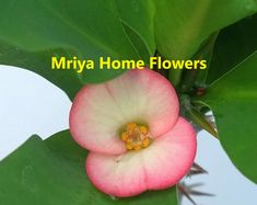 Euphorbia milii Grandiflora Hybr Ashish. Euphorbia Milii, Home Flowers, Fruit