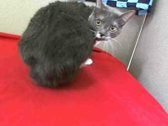 BOOTS (A1603060) I am a neutered male blue smoke and white Domestic Shorthair.  The shelter staff think I am about 10 years old.  I was turned in by my owner and I am available for adoption. —  at Miami Dade County Animal Services. Medley, FL
