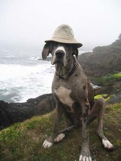 Great Dane - Dog Jones @ the Oregon Coast!