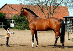 Trakehner is a light warmblood breed of horse, originally developed at the East Prussian state stud farm in the town of Trakehnen from which the breed takes its name