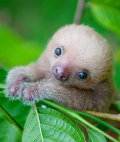 Sloth Sanctuary Care Volunteer in Costa Rica Conservation Programs Happy Animals, Cute Baby Animals, Animals And Pets, Funny Animals, Exotic Animals, Cute Baby Sloths, Cute Sloth, Mundo Animal, Cute Animal Pictures