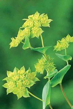 Bupleurum rotundifolium 'Griffithii' looks good interspersed through the flower border.
