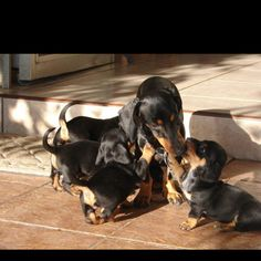 baby dachshunds