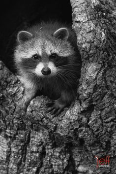 Baby Raccoon in Black and White #photography #wildlife