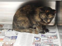 Sue - URGENT - PIKE COUNTY ANIMAL SHELTER in Pikeville, Kentucky - ADOPT OR FOSTER - Adult Female Domestic SH Mix