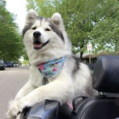 #fridayfeels ☀️😎 copyright - Justin Timberlake 'I Got This Feeling'  Cute Dogs, Dog Lovers, Husky, Husky Puppy, Cute Husky, Best Dogs On Instagram, Fluffy Dogs, Best Dog Breeds, Cutest Dogs, Huskies, Siberian Husky, Siberian Huskies, Cute Huskies, Best Pets, Dog Photography, Instagram Pets, Instagram Dogs, Fluffy Puppies, Funny Dogs, Dogs Of Instagram, Dogs On Instagram, Follow Dogs On Instagram, Cutest Animals On Instagram, Cute Animals  #Regram via @mocha_in_the_morning