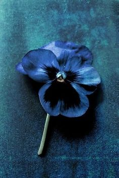 """Pansy """"Just Before Midnight"""" by Nicola Pearson Azul Indigo, Bleu Indigo, Before Midnight, Midnight Blue, Azul Pantone, Color Celeste, Prussian Blue, Turquoise, Blue Aesthetic"""